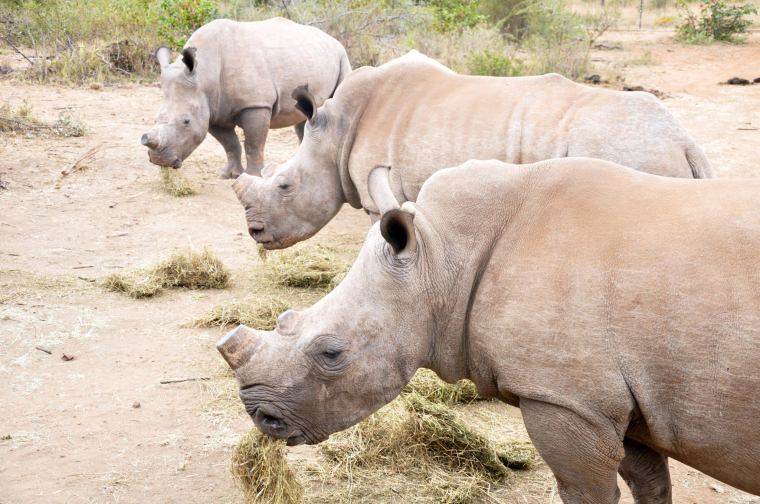 Shaving the horns of the rhinos keeps poachers at bay